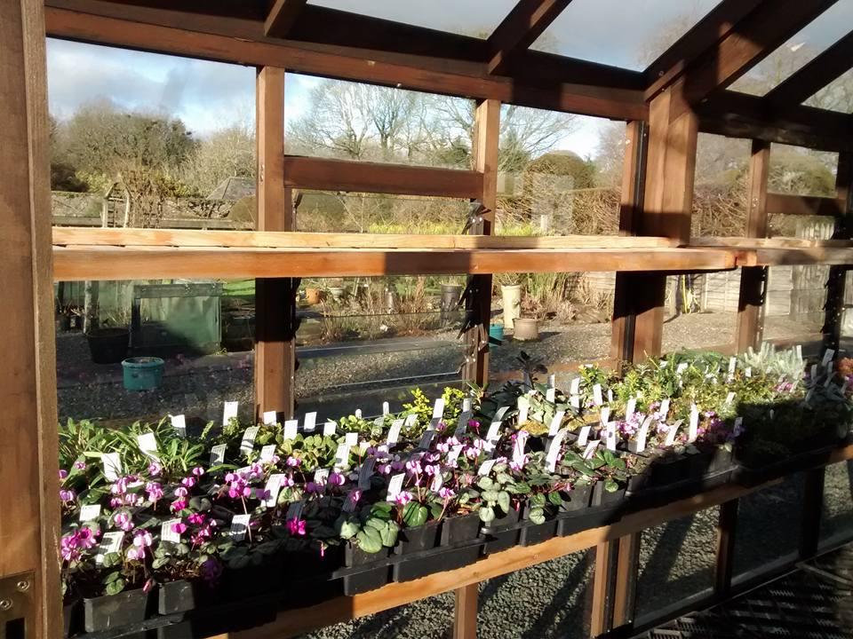 Cyclamen plants in a glasshouse