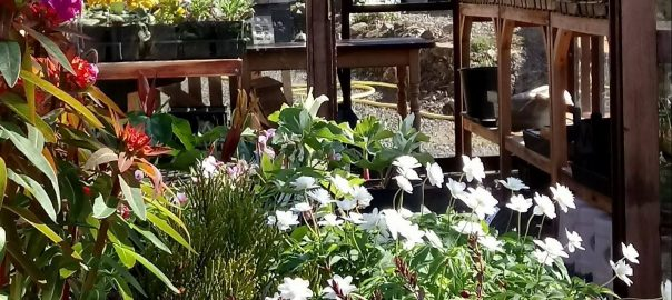 Plants in Alpine House