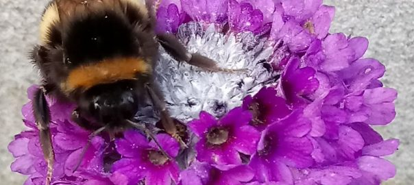 Primula with Bee