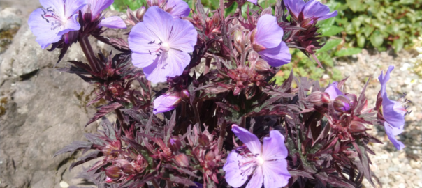 "Geranium ""Midsummer Night"""